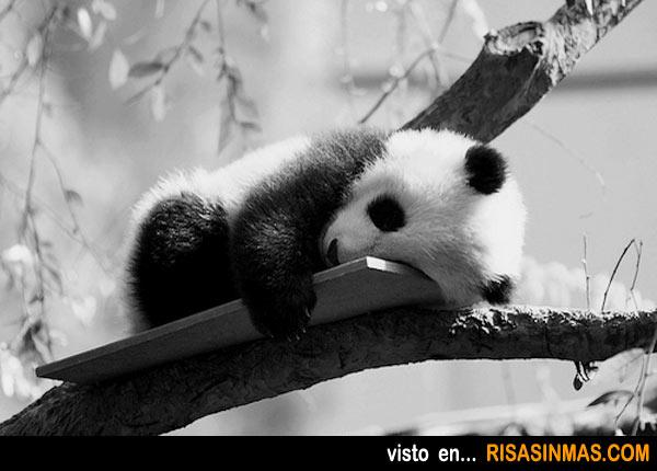 La siesta del panda