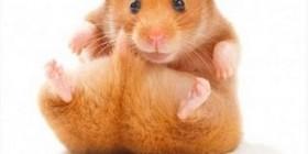 Hamster haciendo abdominales