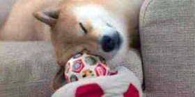 Acomodándose para la siesta
