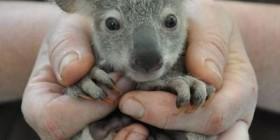 Bebé koala saludando