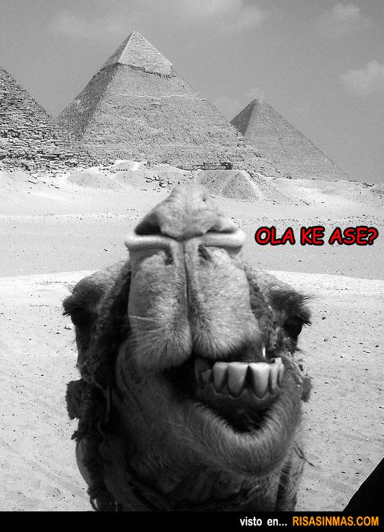 Camello saludando