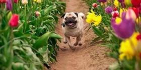 La felicidad es un pug