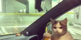 Gato conductor