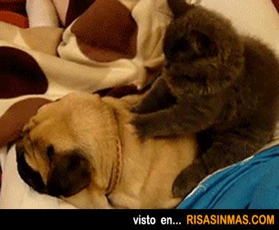 Gato masajista de un perro