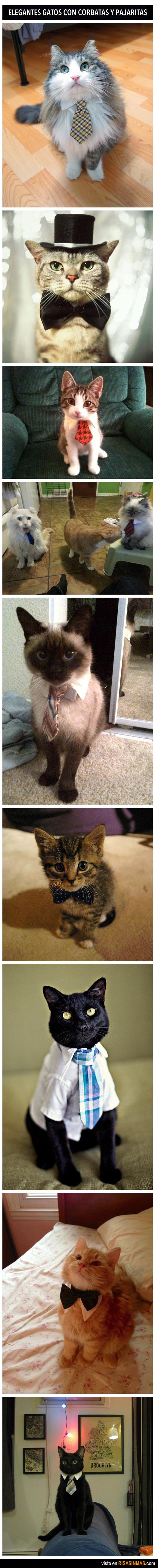 Gatos elegantes con corbatas
