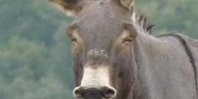 Hasta los más burros se alegran los viernes