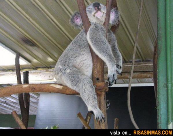 La siesta del Koala