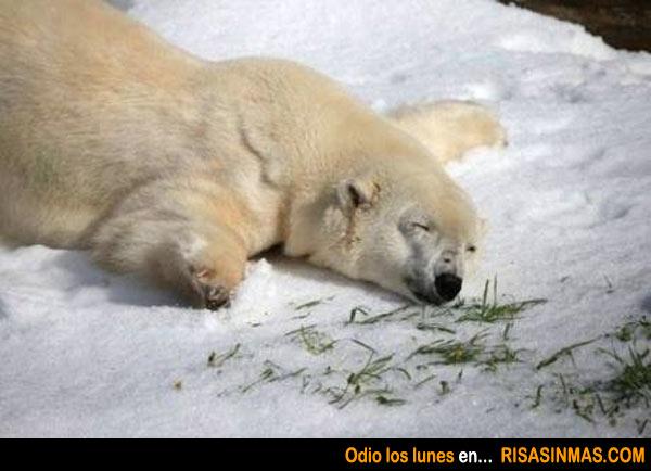 Este oso polar también odia los lunes