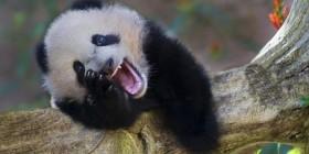 Oso panda pidiendo ayuda