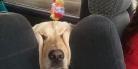 Perro encajado