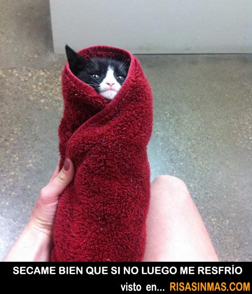 Secando a un gatito