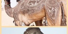 Arte en el pelaje de camellos