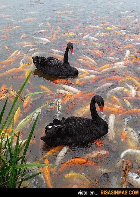 Cisnes en un mar de carpas Koi