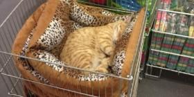 Gato probando la cama antes de comprarla