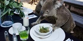Koala desayunando