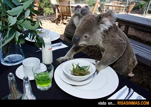 Team Koala Koala-desayunando