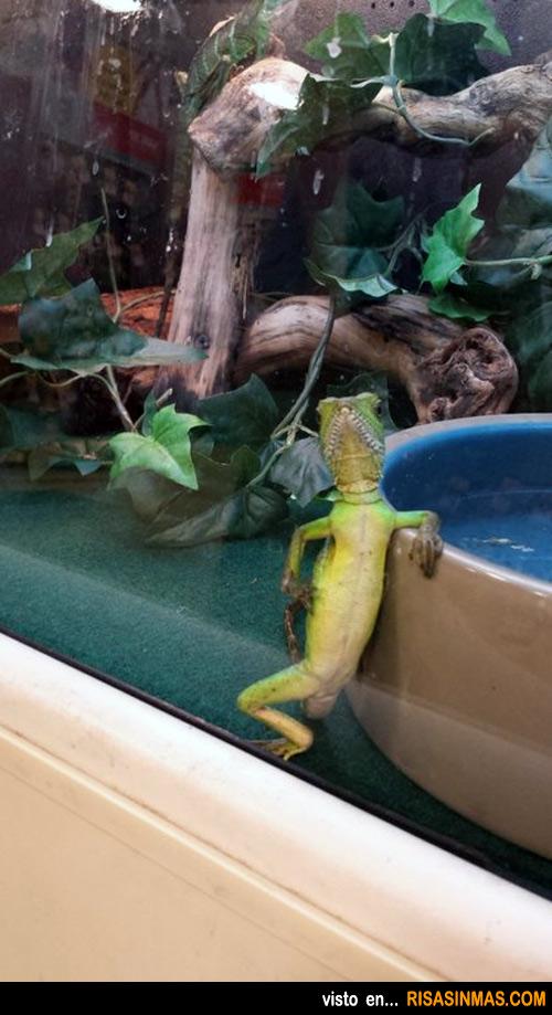 Mi lagarto posa cuando ve la cámara