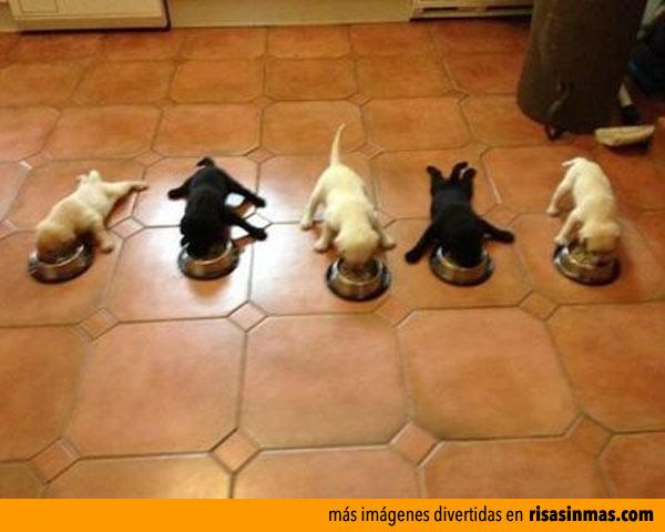 Competición de perritos