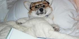 Perro acostado en la cama leyendo un libro
