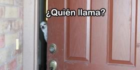 Llamas a la puerta y te abre... ¡Un chihuahua!