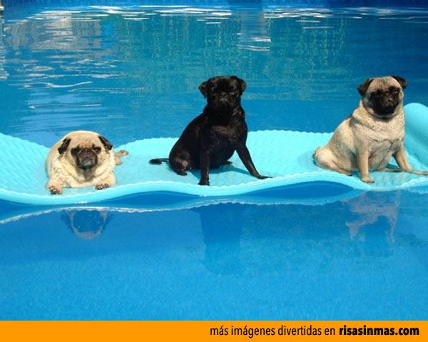 Pugs de vacaciones