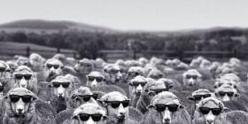 Rebaño de ovejas después de una noche de fiesta
