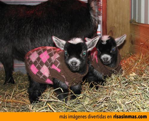 Mis cabras tienen buena lana