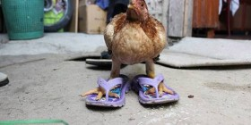 Gallina con chancletas