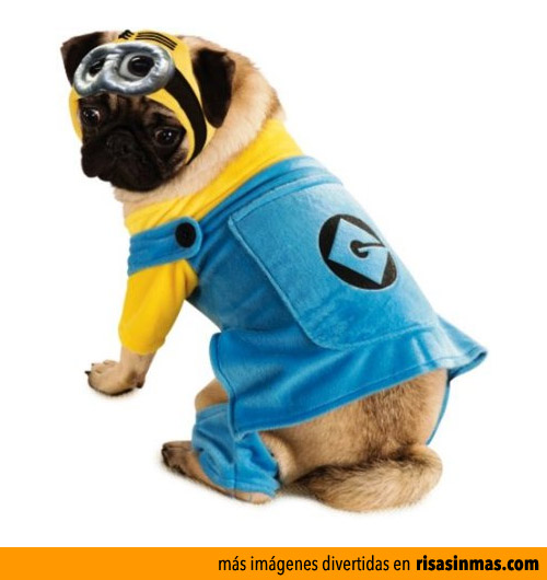 Pug disfrazado de Minion