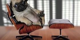 Pug en la oficina