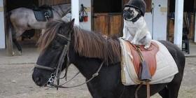 Pug en su primer día de clase de equitación