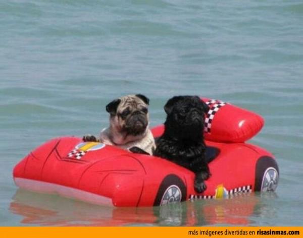 Pugs de vacaciones en la playa