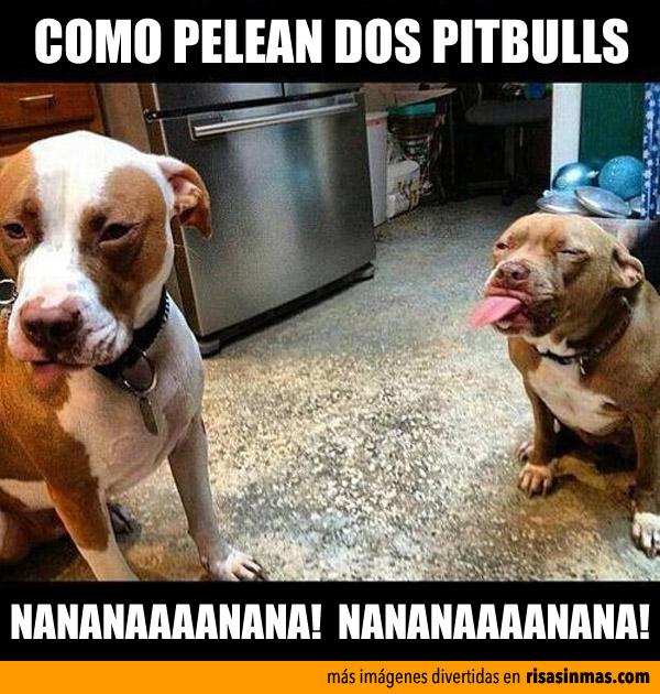 Como pelean dos pit bull