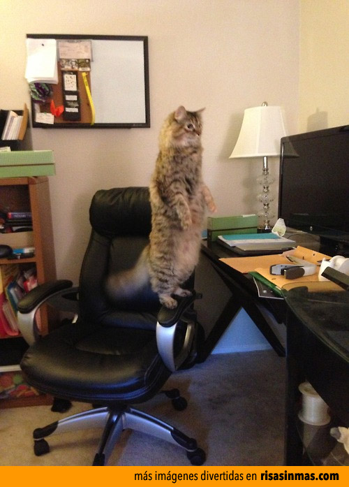 Gato que se cree un suricato