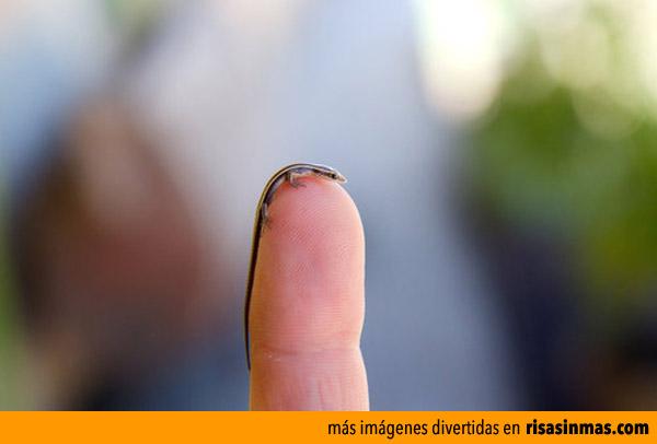 La lagartija más pequeña del mundo