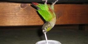 Lorito bebiendo