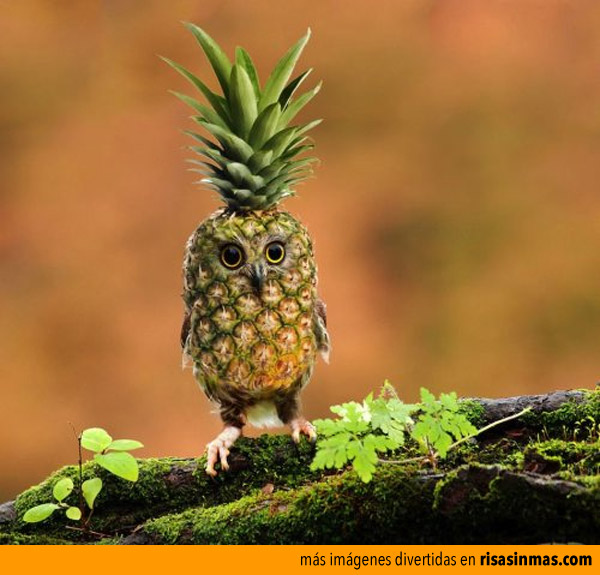 Nueva especie: el buho-piña