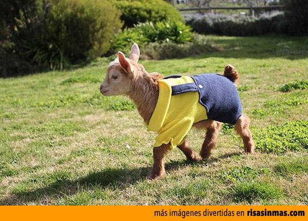 Cabrito disfrazado de Minion