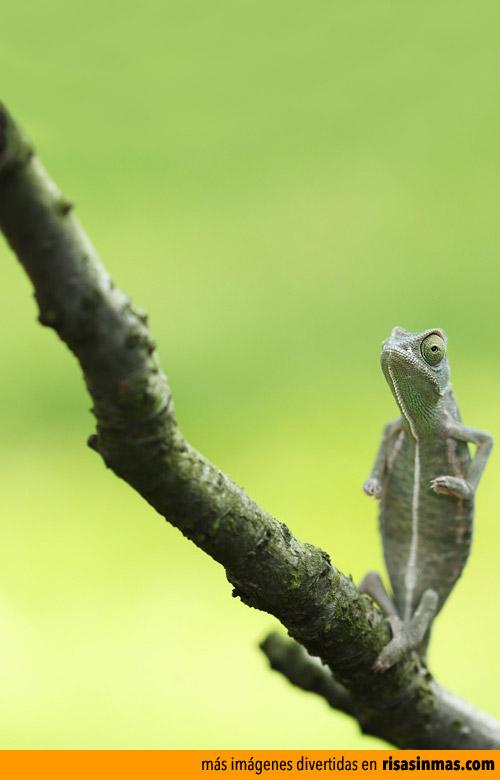 Camaleón meditando