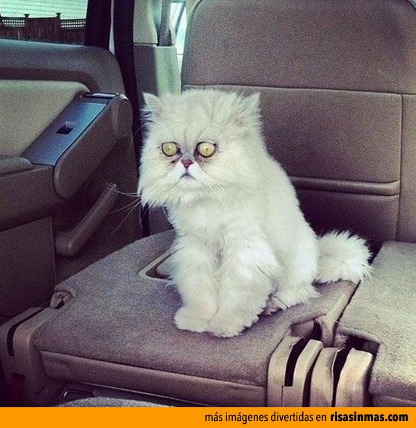 Gato pensativo