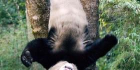 Panda en apuros