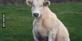 Vaca sentada
