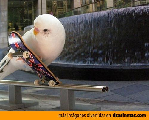 Periquito skater