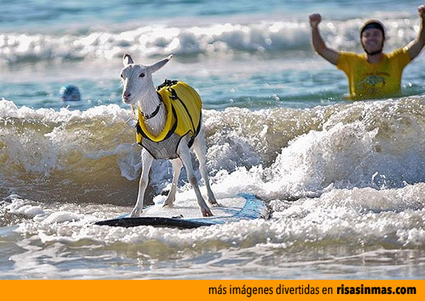 Cabra surfista