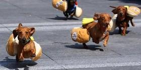 Carrera de perros salchicha