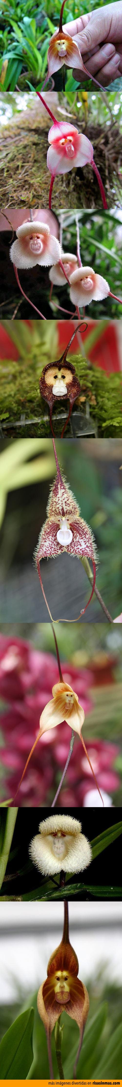 Increíbles orquídeas con cara de mono