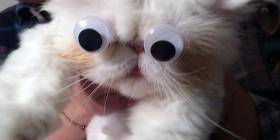 Los ojos móviles llegan a los gatos