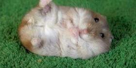 Mi hamster Neymar