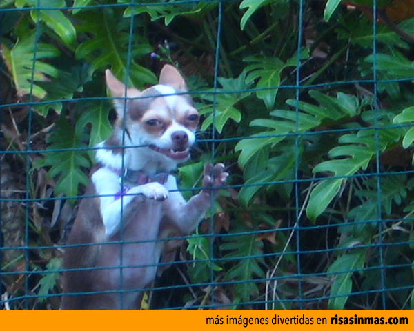 Perros peligrosos: XII