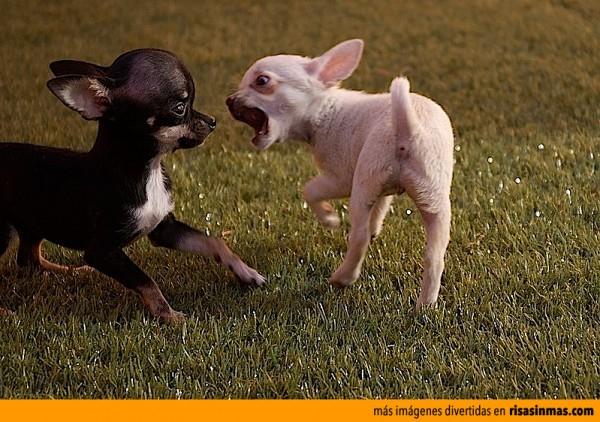 Pelea de perros peligrosos